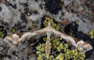 Platyptilia calodactyla 2B 2