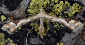 Platyptilia calodactyla 2B 3