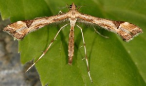 Platyptilia calodactyla 66
