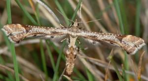 Platyptilia gonodactyla 06 1