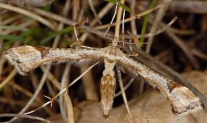 Platyptilia gonodactyla 06 2