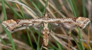 Platyptilia gonodactyla 06 3