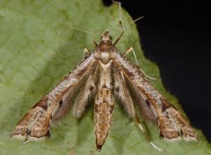 Platyptilia gonodactyla 06 4