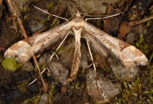 Platyptilia gonodactyla 38