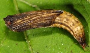 Platyptilia gonodactyla chrysalide 06
