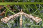 Platyptilia iberica 66 2
