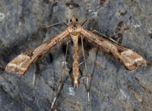 Platyptilia tesseradactyla 06 1