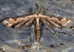 Platyptilia tesseradactyla 06 2