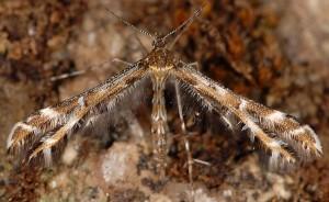 Procapperia maculatus 05 1