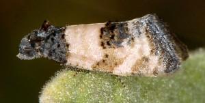 Propiromorpha rhodophana 83 1
