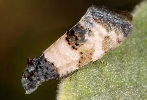 Propiromorpha rhodophana 83 2