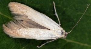 Psamathocrita dalmatinella 1