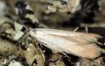 Psamathocrita dalmatinella (I, G)