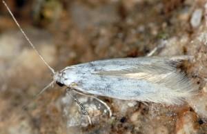 Psamathocrita dalmatinella 4