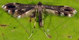 Pselnophorus heterodactyla 06 1