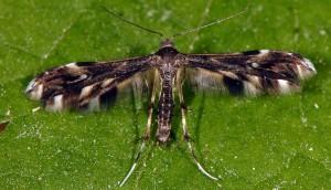 Pselnophorus heterodactyla 06 2