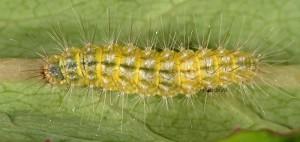 Pselnophorus heterodactyla L5 06 4