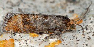 Pseudococcyx-posticana-06-1