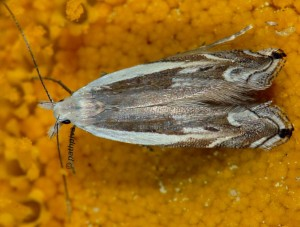 Pseudosophronia exustellus 01