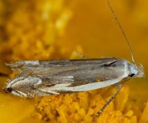 Pseudosophronia exustellus 02