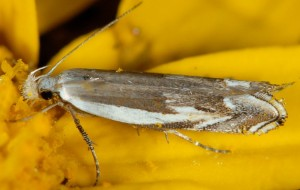 Pseudosophronia exustellus 05