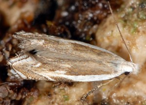 Pseudosophronia exustellus 06