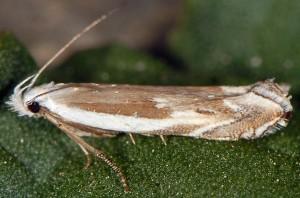 Pseudosophronia exustellus 07