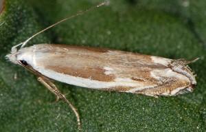 Pseudosophronia exustellus 08