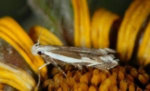 Pseudosophronia exustellus 09