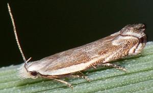 Pseudosophronia exustellus 10