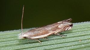 Pseudosophronia exustellus 11