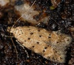Pseudotelphusa occidentella (I)