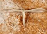 Pterophorus ischnodactyla 06 1