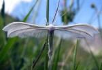 Pterophorus pentadactyla 06 1