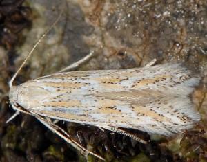 Ptocheuusa paupella 1