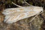 Ptocheuusa paupella (I)