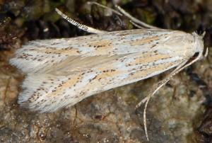 Ptocheuusa paupella 2