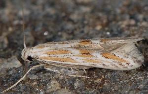 Ptocheuusa paupella 3