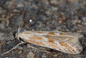 Ptocheuusa paupella 4
