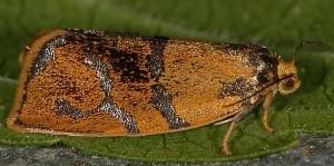 Ptycholoma lecheana 38