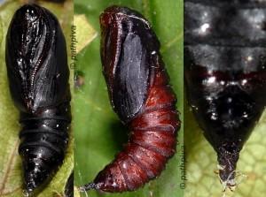 Ptycholoma lecheana chrysalide 06 1