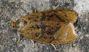 Ptycholoma licheana