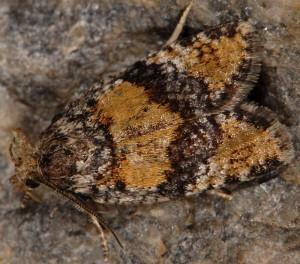 Ptycholomoides aeriferana 38 1