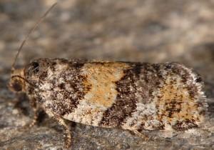 Ptycholomoides aeriferana 38 2
