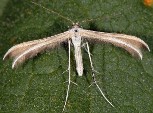 Puerphorus olbiadactylus 06 1