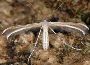 Puerphorus olbiadactylus 06 2