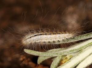 Puerphorus olbiadactylus