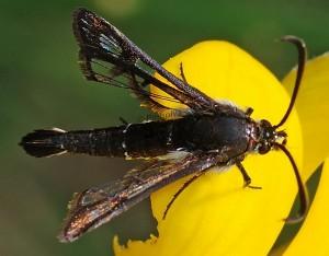 Pyropteron affinis 06 1