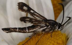 Pyropteron affinis 06 3