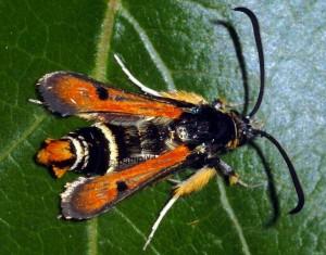 Pyropteron chrysidiformis